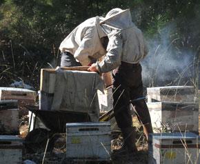 Yapay tohumlama ile ;Muğla arısı; yetiştirilecek
