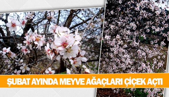 Şubat ayında meyve ağaçları çiçek açtı