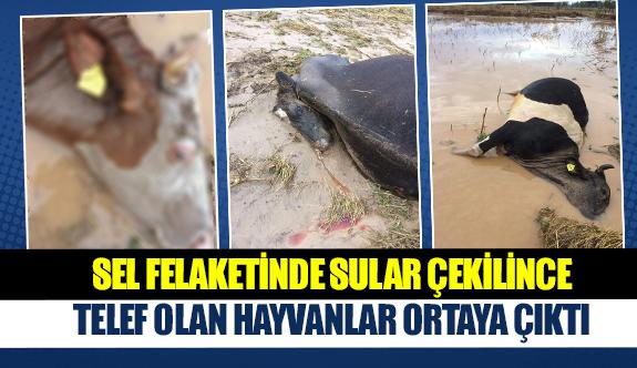 Sel felaketinde sular çekilince telef olan hayvanlar ortaya çıktı