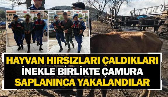 Hayvan hırsızları çaldıkları inekle birlikte çamura saplanınca yakalandılar