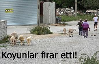 Koyunlar firar etti!