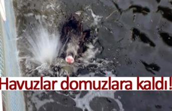 Havuzlar domuzlara kaldı