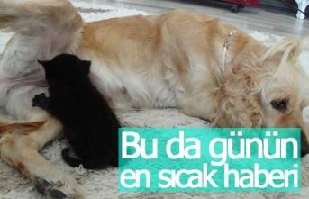 Köpek yavru kediye analık yapıyor