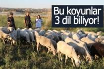 Bu koyunlar 3 dil biliyor!