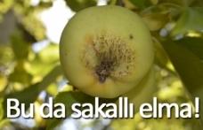 Bu da sakallı elma!