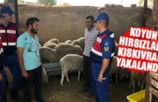 Koyun hırsızları kıskıvrak yakalandı