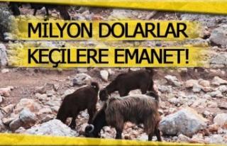 Milyon dolarlar keçilere emanet!