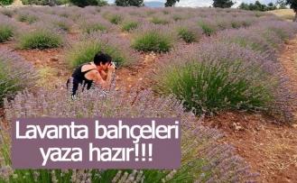 Lavanta bahçeleri yaza hazır!!!