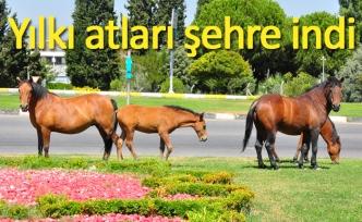 Yılkı atları şehre indi
