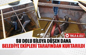 Su dolu siloya düşen dana belediye ekipleri tarafından kurtarıldı
