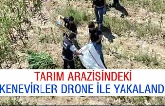 Tarım arazisindeki kenevirler drone ile yakalandı