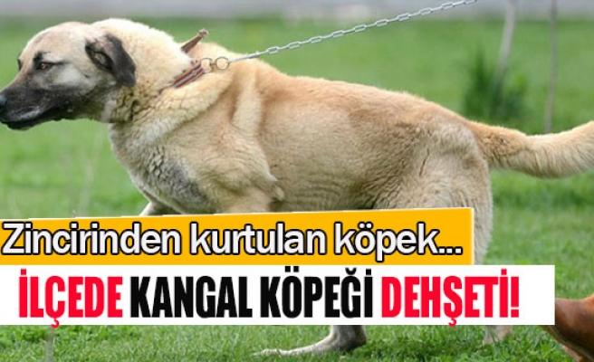 İlçede kangal köpeği dehşeti!