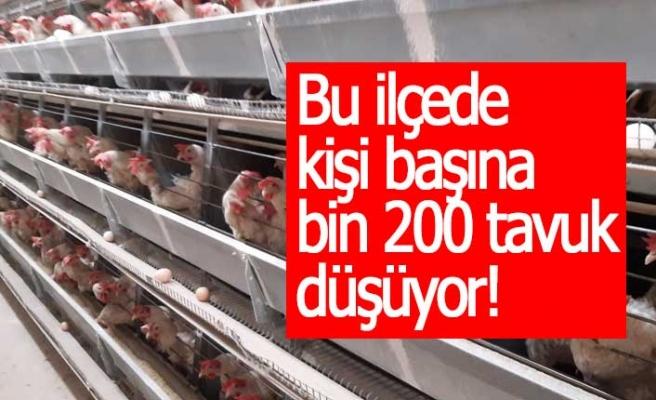 Bu ilçede kişi başına bin 200 tavuk düşüyor