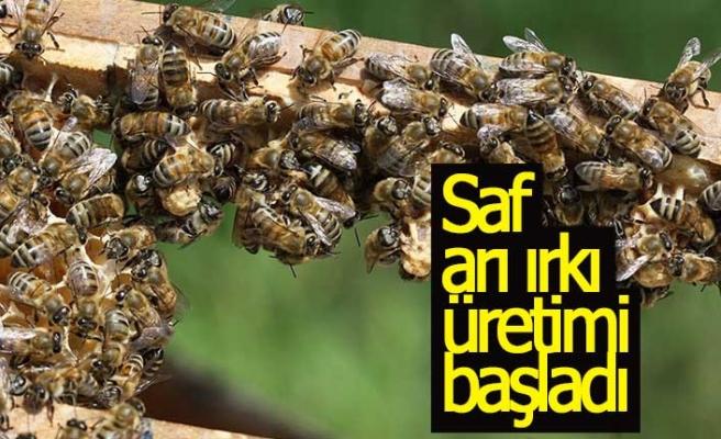 Saf arı ırkı üretimi başladı