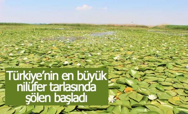 Türkiye'nin en büyük nilüfer tarlasında şölen başladı