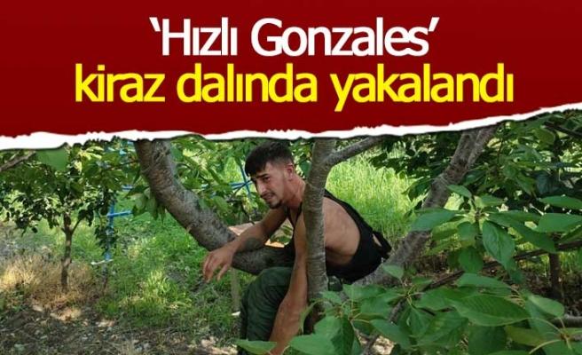 'Hızlı Gonzalez' kiraz ağacında yakalandı