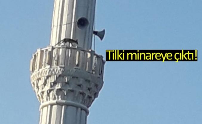 Tilki minareye çıktı!