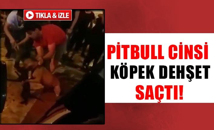 Pitbull cinsi köpek dehşet saçtı!